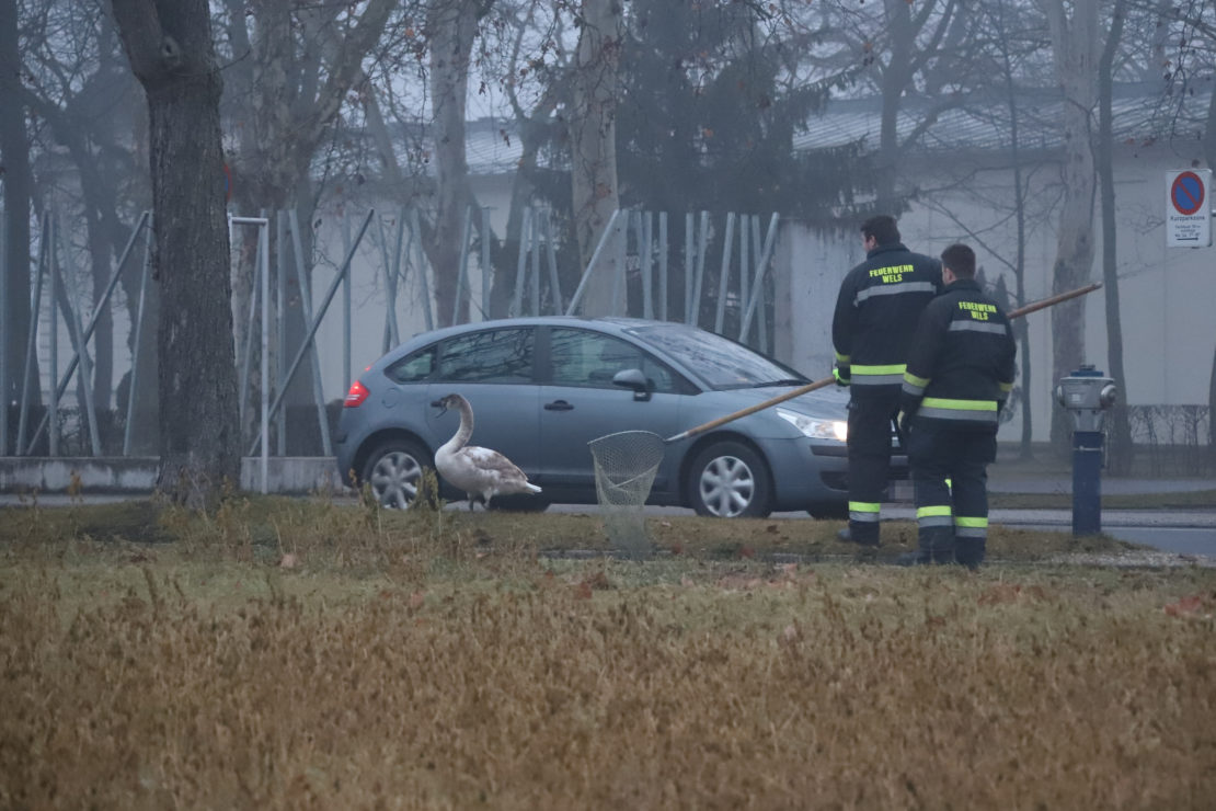 Hilfloser Schwan in Wels-Neustadt von der Feuerwehr eingefangen