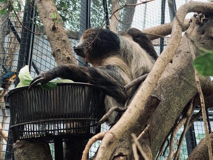 Faultier im Zoo Schmiding