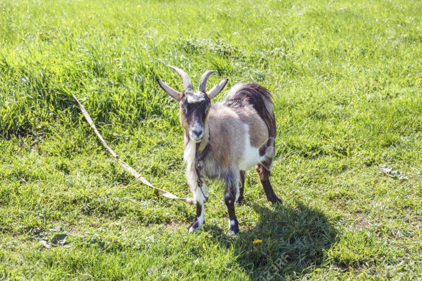 In Spanien müssen Ziegen zum Gassigehen herhalten