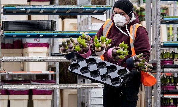 Niederländer vernichten täglich Millionen Blumen
