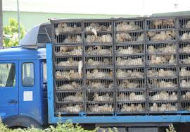 Niederlande setzen Tiertransporte wegen Corona aus