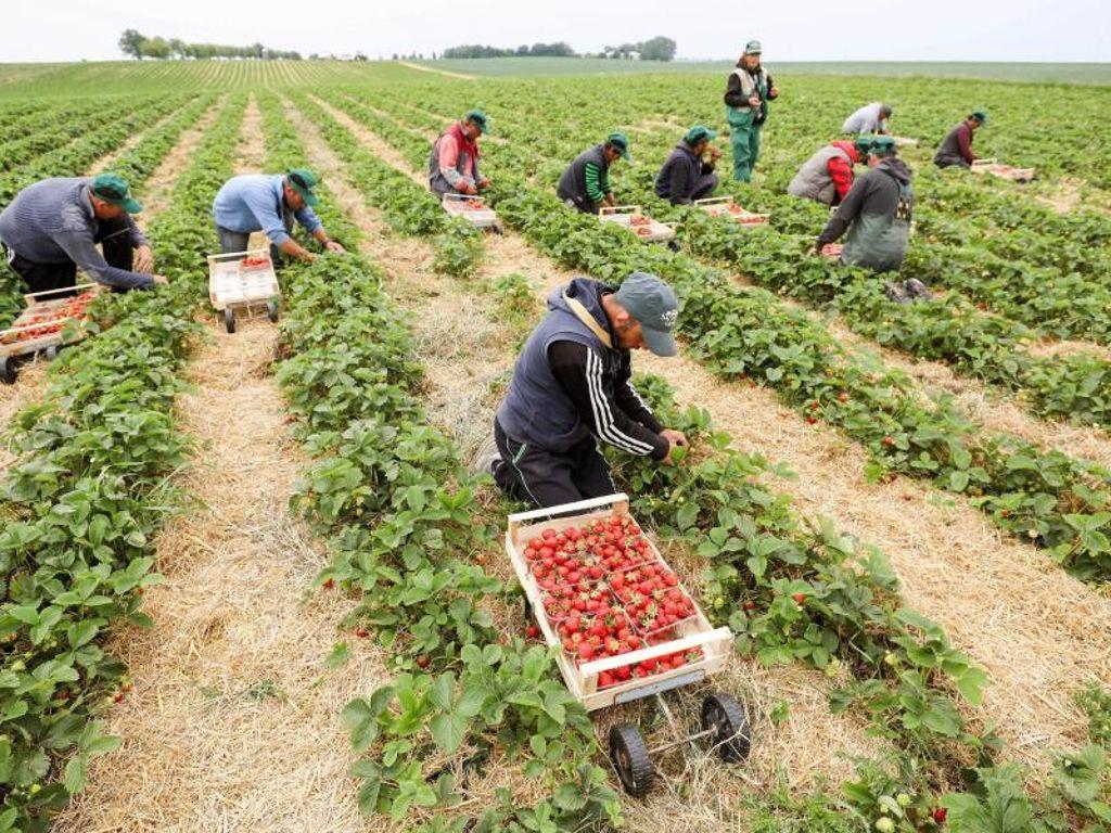 Mehr als 200 Erntehelfer in Oberösterreich gelandet