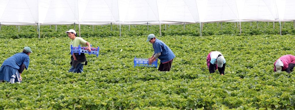 Italien will in der Landwirtschaft arbeitende Migranten legalisieren