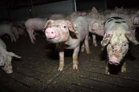 Tierschutzkritik an Gütesiegel für heimische Schweinehaltung