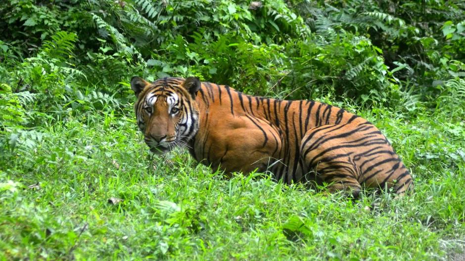 Tiger in Indien soll lebenslang eingesperrt werden