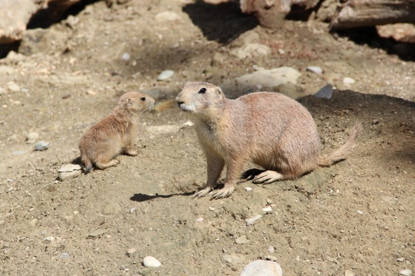 Nachwuchs bei den Präriehunden im Zoo Schmiding