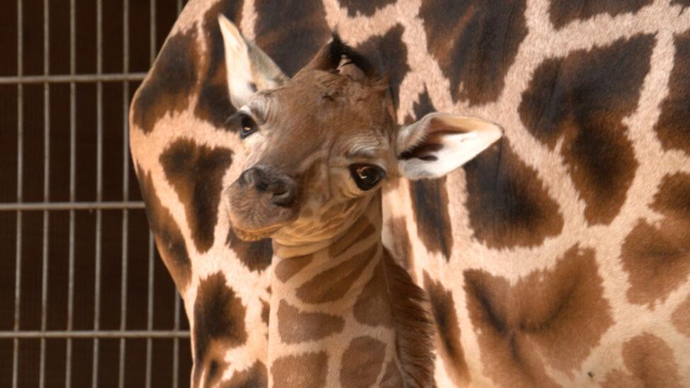 Giraffenbaby im Zoo Schmiding