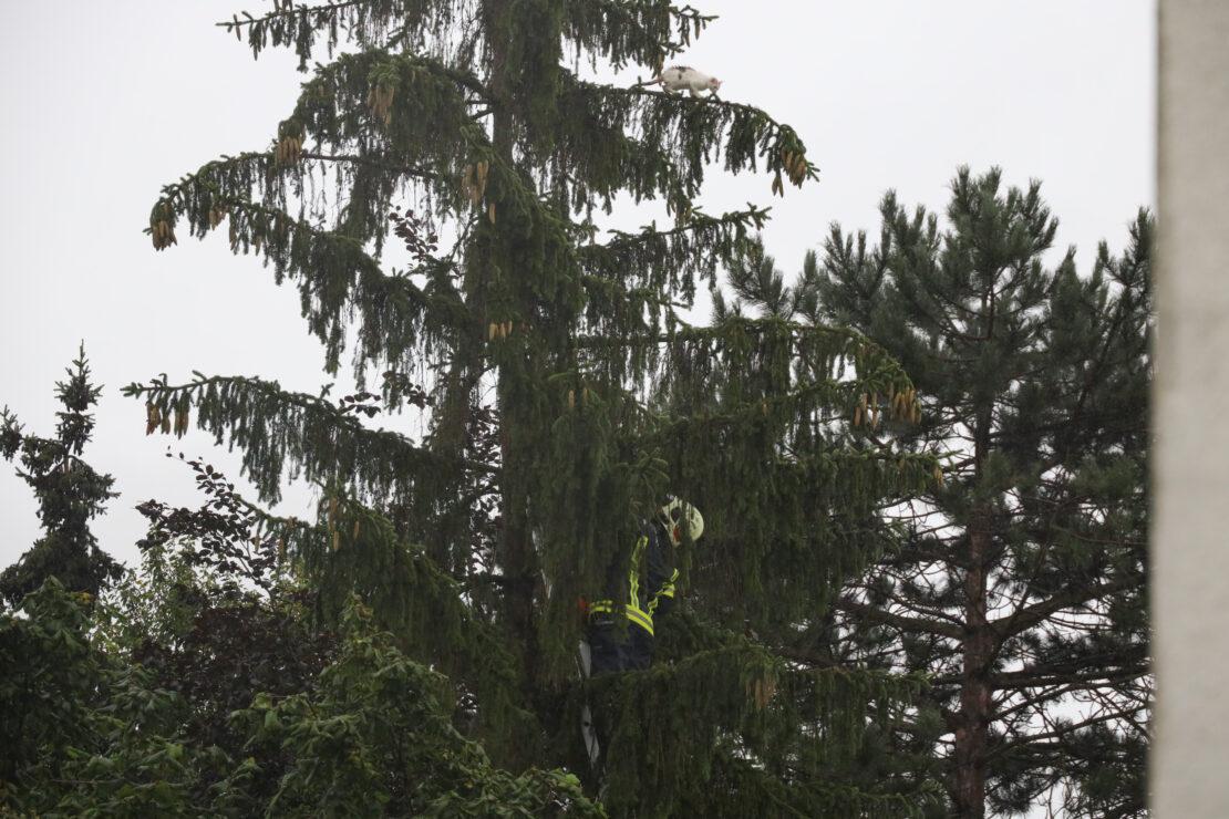 Durchnässte Katze auf einem Baum in Wels-Neustadt wollte sich nicht von Feuerwehr retten lassen