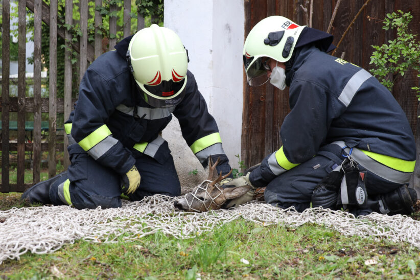 Rehbock im Garten eines Wohnhauses in Wels-Lichtenegg durch Einsatzkräfte der Feuerwehr eingefangen
