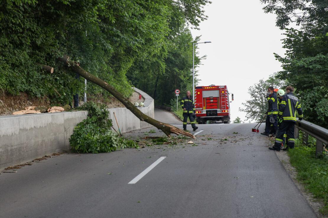 Erneut morscher Baum auf Straße in Thalheim bei Wels gestürzt