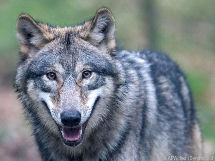Drei Wolfssichtungen im Mühlviertel in Oberösterreich gemeldet