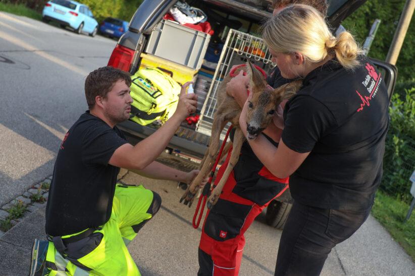 Reh eingeklemmt: Einsatzkräfte der Tierhilfe befreiten Wildtier aus Gartentor in Wels-Lichtenegg