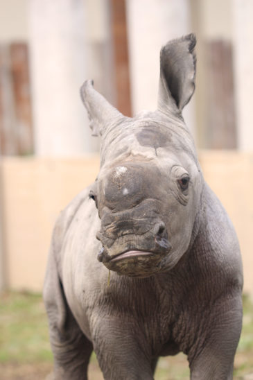 Neuigkeiten vom Nashorn-Baby