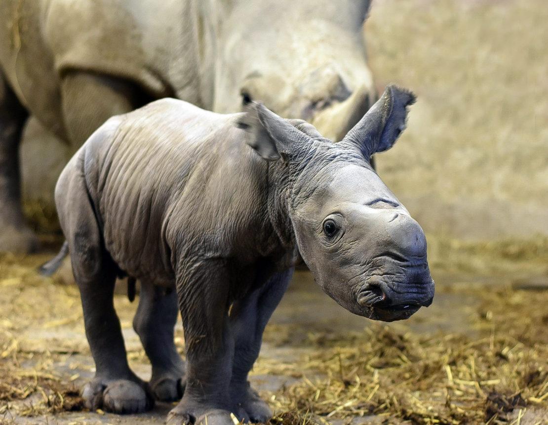 Wieder Babyalarm im Nashornstall